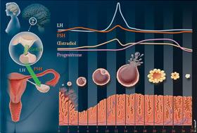 Le cycle menstruel et le rôle des hormones