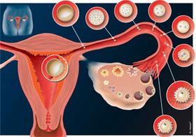 Développement de l'embryon et implantation