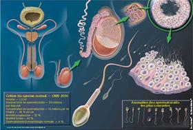 Anatomie du système reproducteur masculin